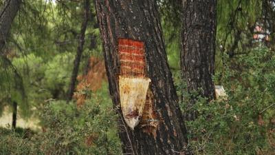 Сбор смолы из хвойных деревьев
