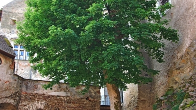 Дерево-талисман замка