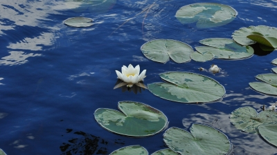 Кувшинки на восточном озере